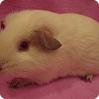Adopt A Pet :: Sweet Pea - Highland, IN