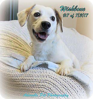 Beagle/American Eskimo Dog Mix Dog for adoption in Gaylord, Michigan - Wishbone