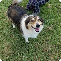 Adopt A Pet :: Bella-C - Austin, TX