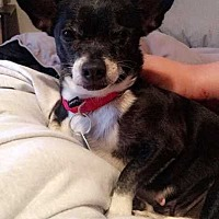 Adopt A Pet :: Lady fka Baby Girl - Washington, DC