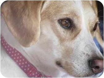 Beagle Dog for adoption in Xenia, Ohio - Pumpkin