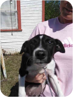 Border Collie Puppy for adoption in San Angelo, Texas - Rascal