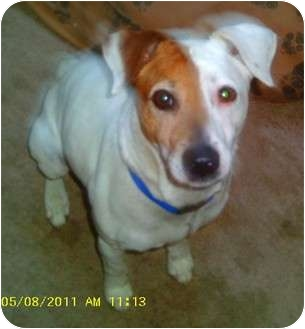 Jack Russell Terrier Dog for adoption in Flint, Michigan - Spud