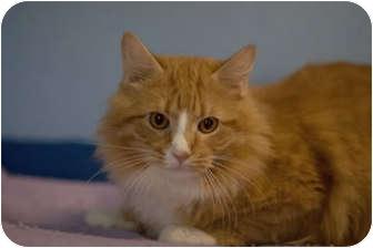 Domestic Longhair Cat for adoption in Murphysboro, Illinois - Enrique