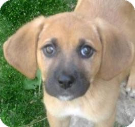 Beagle/Shepherd (Unknown Type) Mix Puppy for adoption in Chicago, Illinois - Mabel