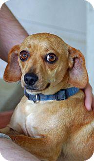 Dachshund Mix Dog for adoption in Fordyce, Arkansas - Daisy