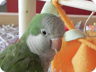Parakeet - Quaker for adoption in St. Louis, Missouri - Tiki