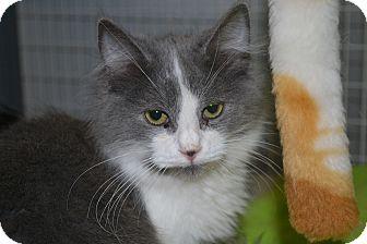 Domestic Mediumhair Cat for adoption in Edwardsville, Illinois - Tokyo
