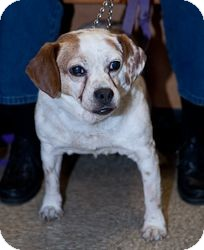 Beagle Dog for adoption in Loudonville, New York - Molly