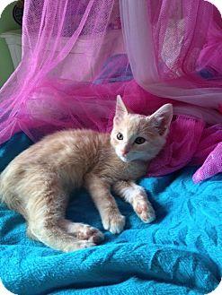 Domestic Mediumhair Kitten for adoption in Naperville, Illinois - Colton-$99.00