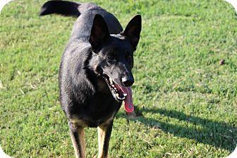 German Shepherd Dog Dog for adoption in Hershey, Pennsylvania - Stella