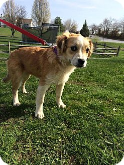 Great Pyrenees/Boxer Mix Puppy for adoption in New Oxford, Pennsylvania - Cherry