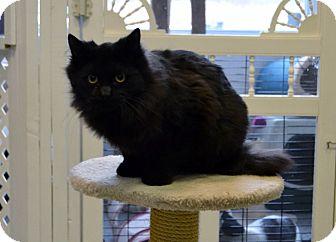 Domestic Mediumhair Cat for adoption in Michigan City, Indiana - Jingle