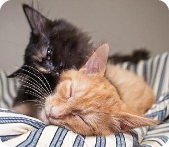Domestic Mediumhair Kitten for adoption in Oakland, California - Charles