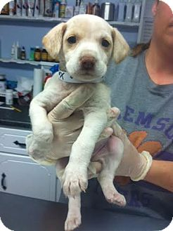 Labrador Retriever/Hound (Unknown Type) Mix Puppy for adoption in Darlington, South Carolina - Xena