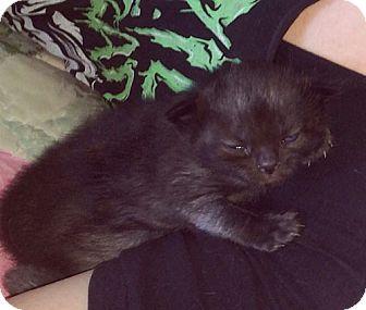 Domestic Shorthair Kitten for adoption in San Dimas, California - Stacey Cake