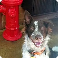 Adopt A Pet :: Wilson - Deaf pending adopt - Post Falls, ID