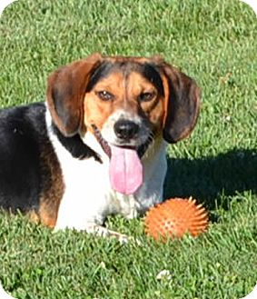 Beagle Mix Dog for adoption in Albion, New York - Easton