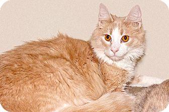 Domestic Mediumhair Cat for adoption in Cashiers, North Carolina - Rusty