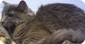 Domestic Longhair Cat for adoption in Knoxville, Iowa - Chance