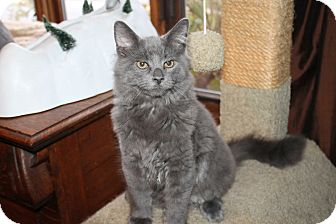 Russian Blue Kitten for adoption in Naperville, Illinois - Teddy-PENDING