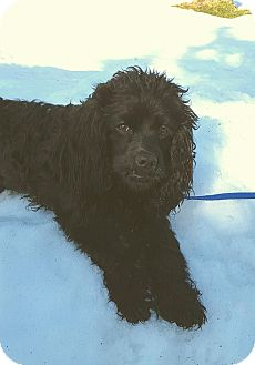 Cocker Spaniel Mix Dog for adoption in New Oxford, Pennsylvania - Dexter
