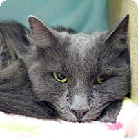 Domestic Mediumhair Cat for adoption in Bellevue, Washington - Tilly