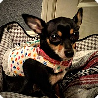 Adopt A Pet :: Cuddles - AUSTIN, TX