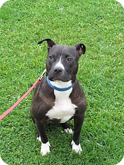 Pit Bull Terrier Mix Dog for adoption in Cameron, Missouri - Willow