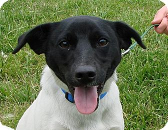 Jack Russell Terrier Mix Dog for adoption in Erwin, Tennessee - Fido