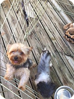 Yorkie, Yorkshire Terrier Dog for adoption in Red Lion, Pennsylvania - TINKERBELL ADOPTION PENDING