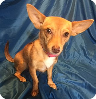 Chihuahua/Terrier (Unknown Type, Small) Mix Dog for adoption in San Leandro, California - Zooey