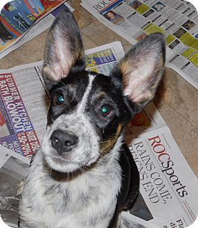 Cattle Dog/German Shepherd Dog Mix Puppy for adoption in Conesus, New York - Precious