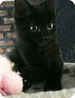 Domestic Mediumhair Kitten for adoption in N. Billerica, Massachusetts - Spree