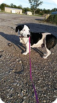 Basset Hound/Beagle Mix Dog for adoption in Glenpool, Oklahoma - Izzie