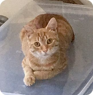 American Shorthair Cat for adoption in Pasadena, California - Daisy
