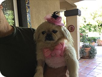 Pekingese Dog for adoption in El Cajon, California - Cookie (in adoption process)
