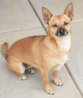 Chihuahua Mix Dog for adoption in San Diego, California - Olga