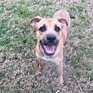 Adopt A Pet :: Brownie - Denton, TX