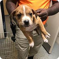 Labrador Retriever Mix Puppy for adoption in New Smyrna Beach, Florida - Cemetary Puppy 2***HOLD***