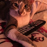 Adopt A Pet :: Twinkie Toes - Glendale, AZ