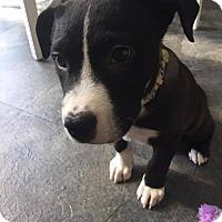 Adopt A Pet :: Stewie - Marlton, NJ
