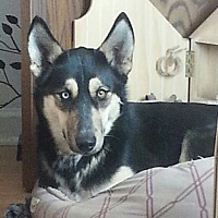 Husky/Australian Cattle Dog Mix Dog for adoption in Greeley, Colorado - Annie