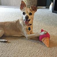 Adopt A Pet :: Amma - Dallas, TX