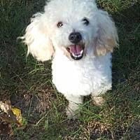Adopt A Pet :: Kevin Bacon - McKinney, TX