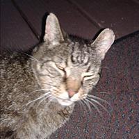 Adopt A Pet :: Stray Tiger - Beloit, Oh - Alliance, OH