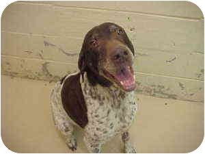 German Shorthaired Pointer Dog for adoption in Gladwin, Michigan - German Shorthaired Pointer