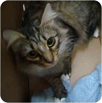 Domestic Longhair Cat for adoption in Haughton, Louisiana - Piper
