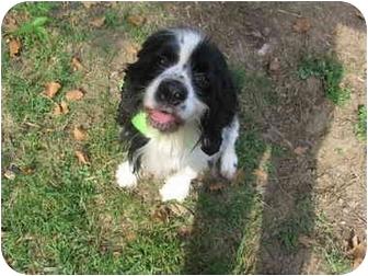 Cocker Spaniel Mix Dog for adoption in Mentor, Ohio - Logan 2yr - Adopted