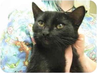 Domestic Shorthair Kitten for adoption in Grants Pass, Oregon - Onyx